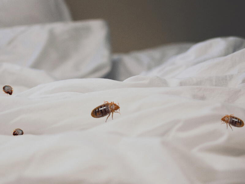 Bed Bugs Pest Controller Services