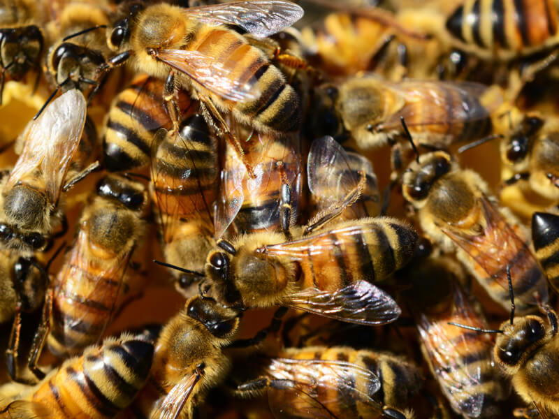 Bees Pest Controller Services