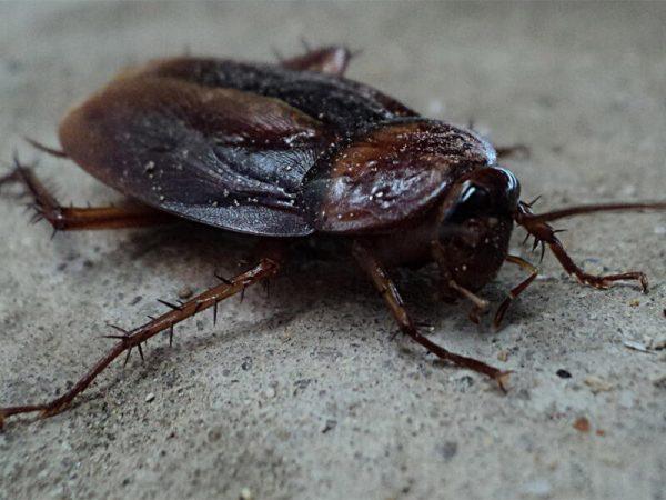 Cockroaches Pest Controller Services