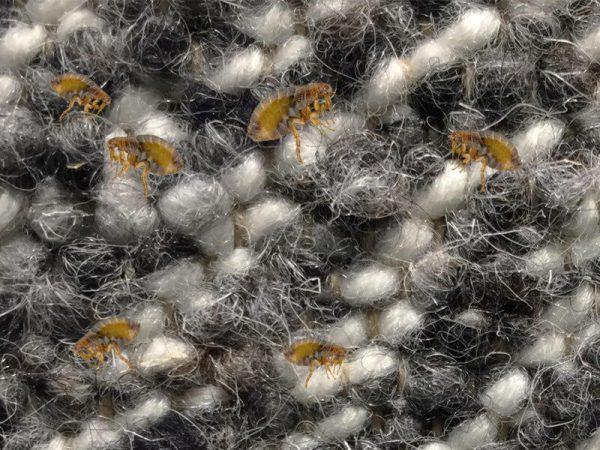Fleas Pest Controller Services