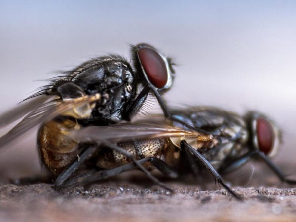 Flies Pest Controller Services