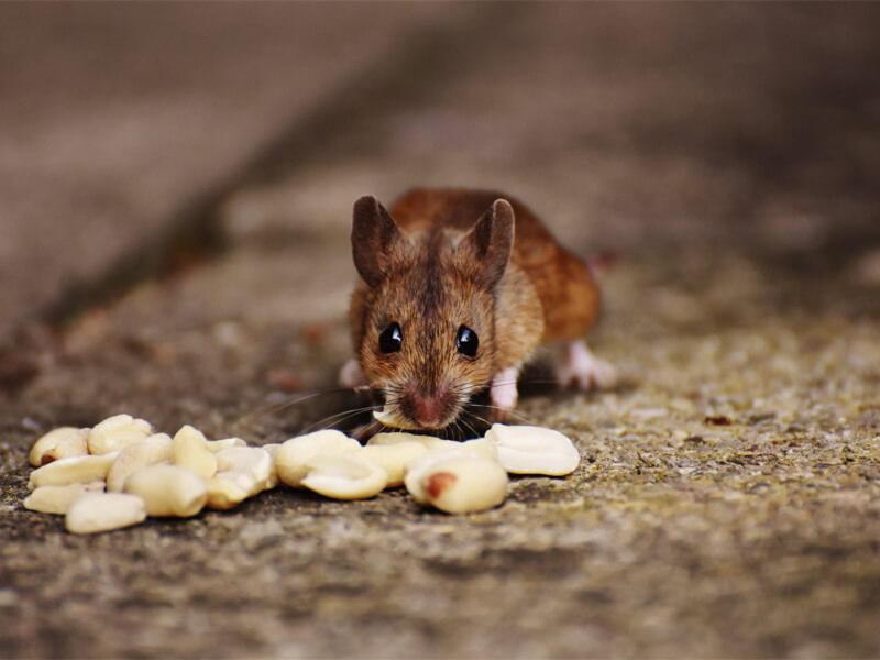 Mice Pest Controller Services
