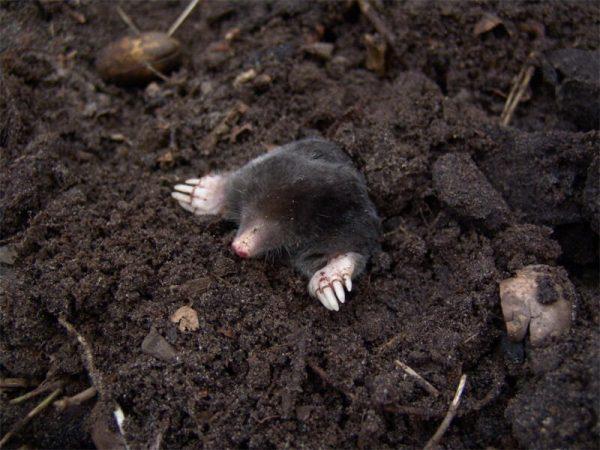 Moles Pest Controller Services