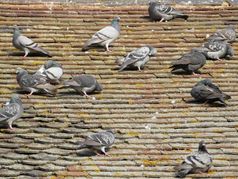 Pigeons Pest Controller Services