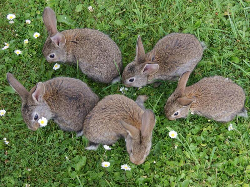 Rabbits Pest Controller Services
