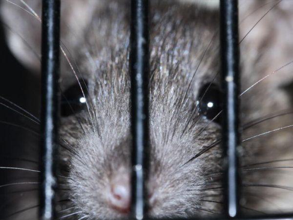 Rats Pest Controller Services