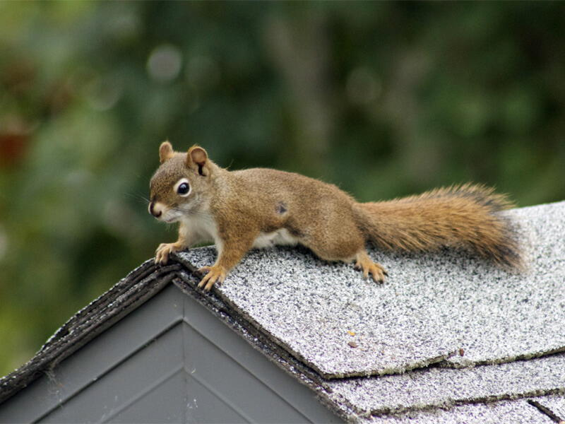 Squirrels Pest Controller Services