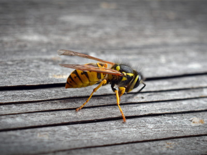Wasps Pest Controller Services